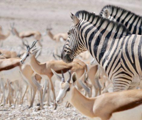 Deux zèbres au milieu des springboks à Etosha