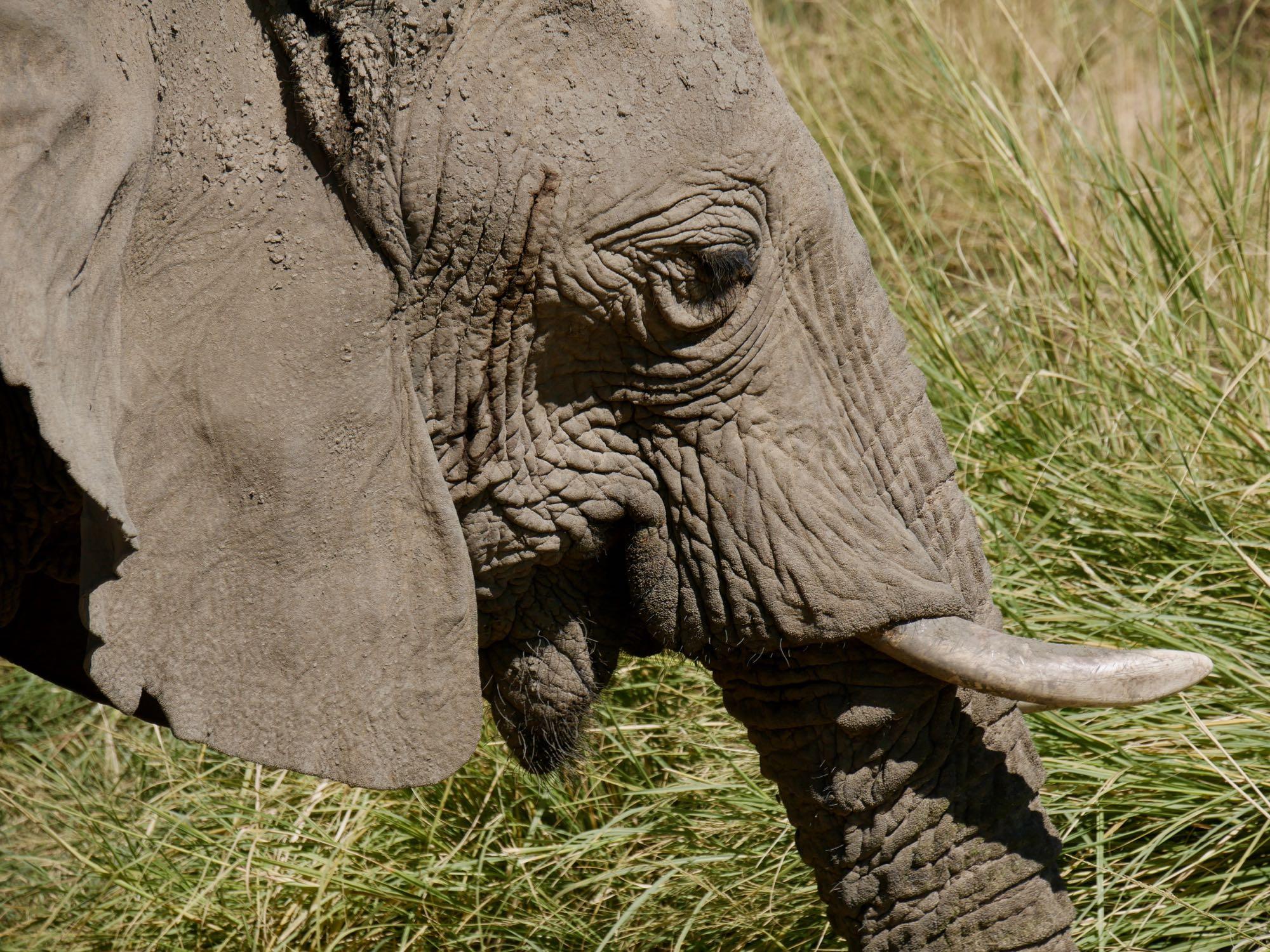 Eléphant du désert vue de prêt au Brandberg