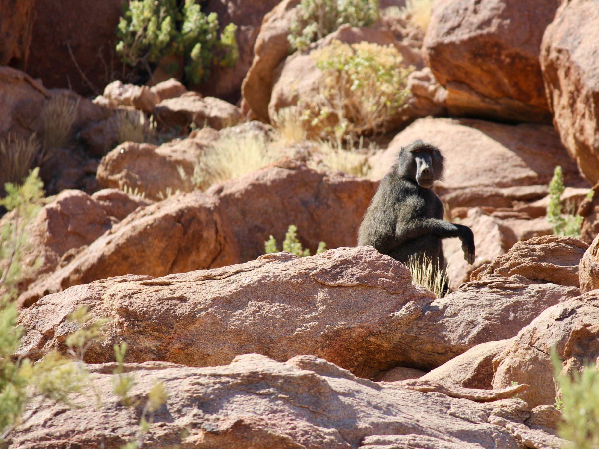 Un singe au Brandberg