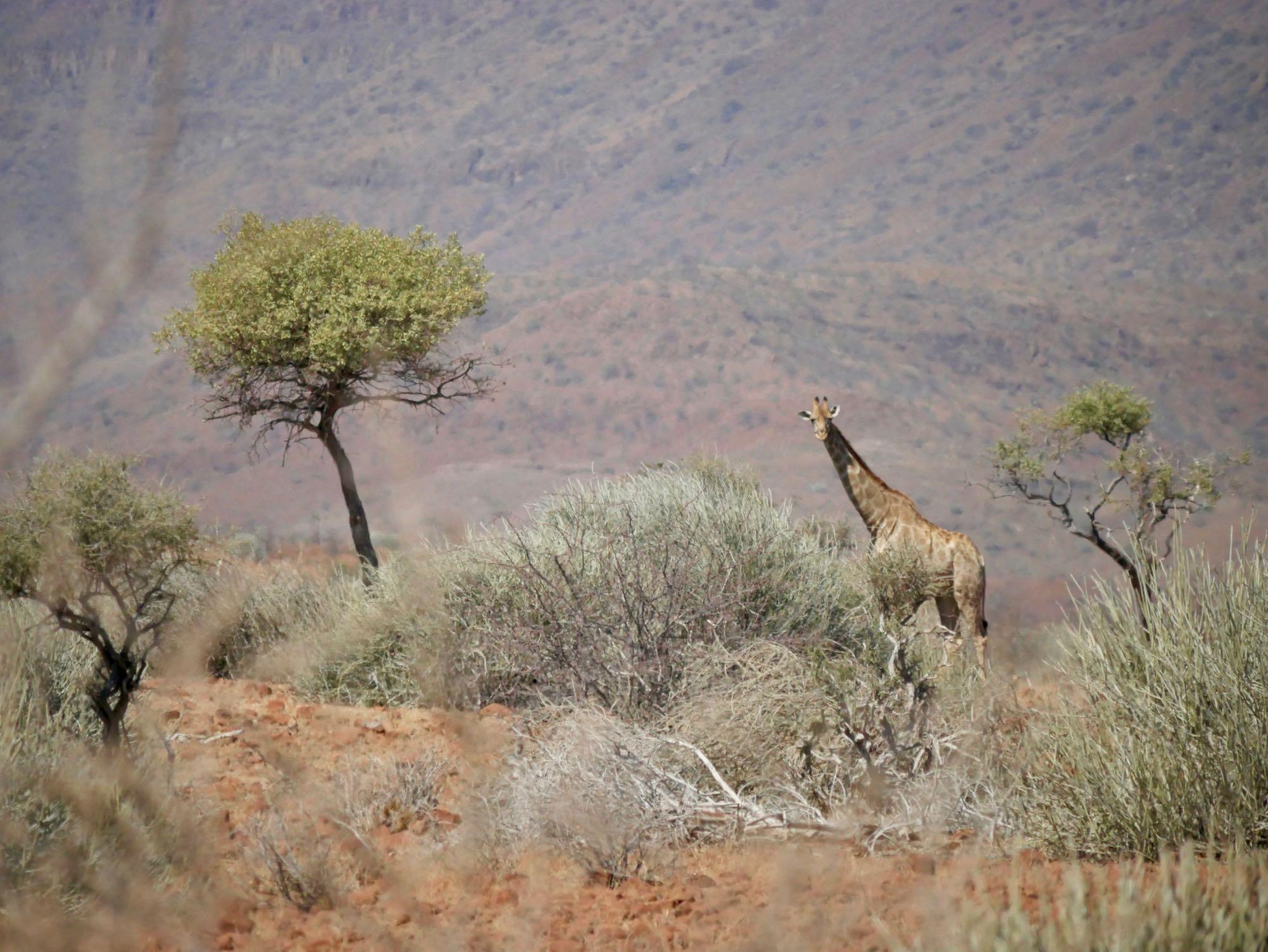 Une girafe dans le Damaraland