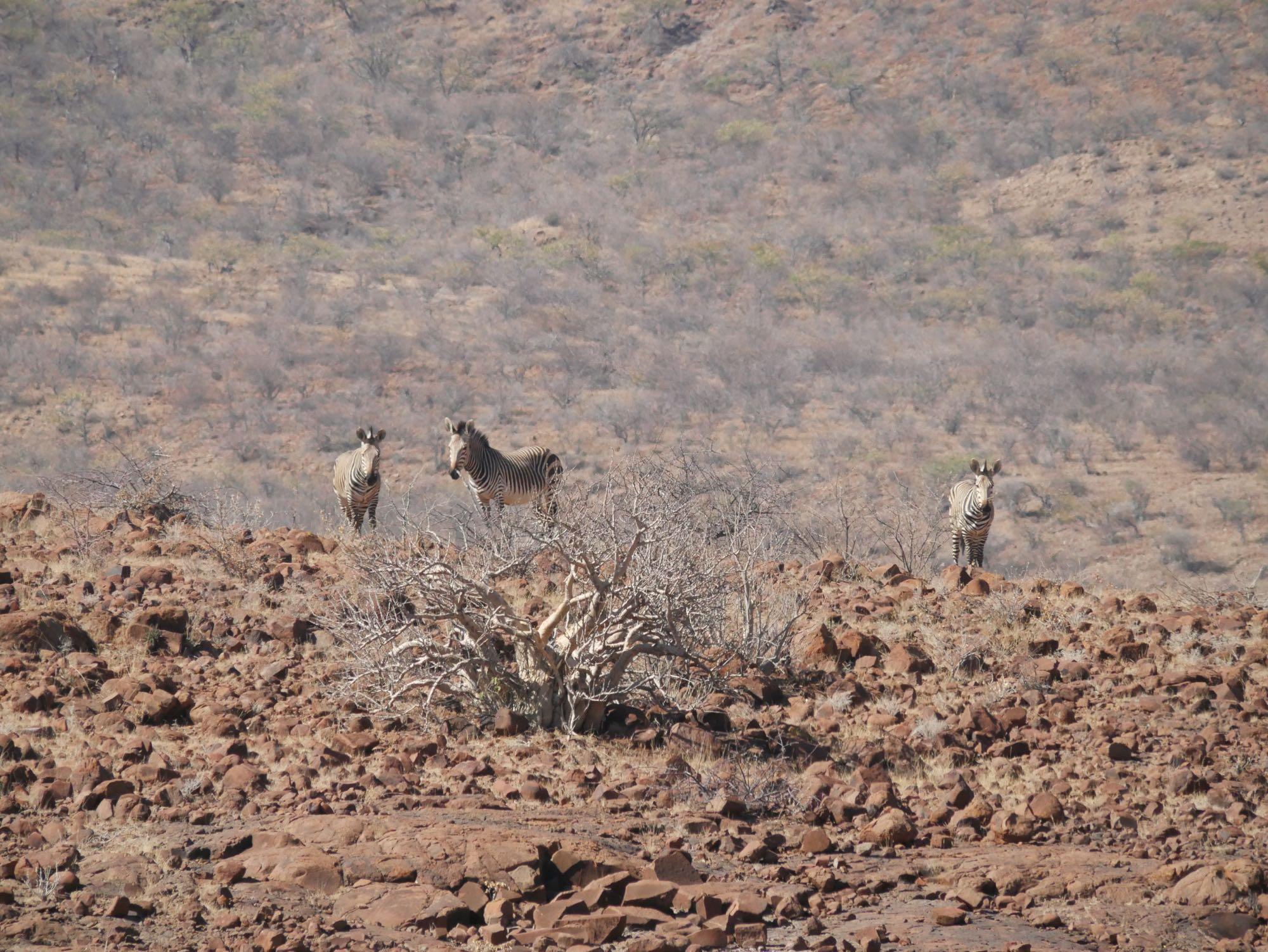 Trois zèbres dans le Damaraland