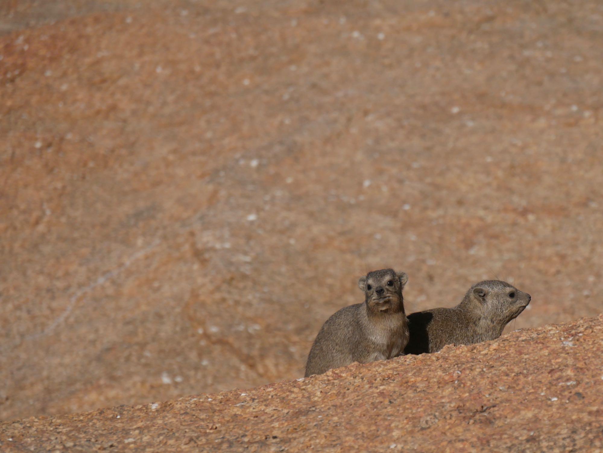 Deux dammans des rochers