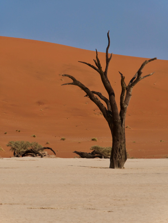 Le plus célèbre acacia de Dead Vlei