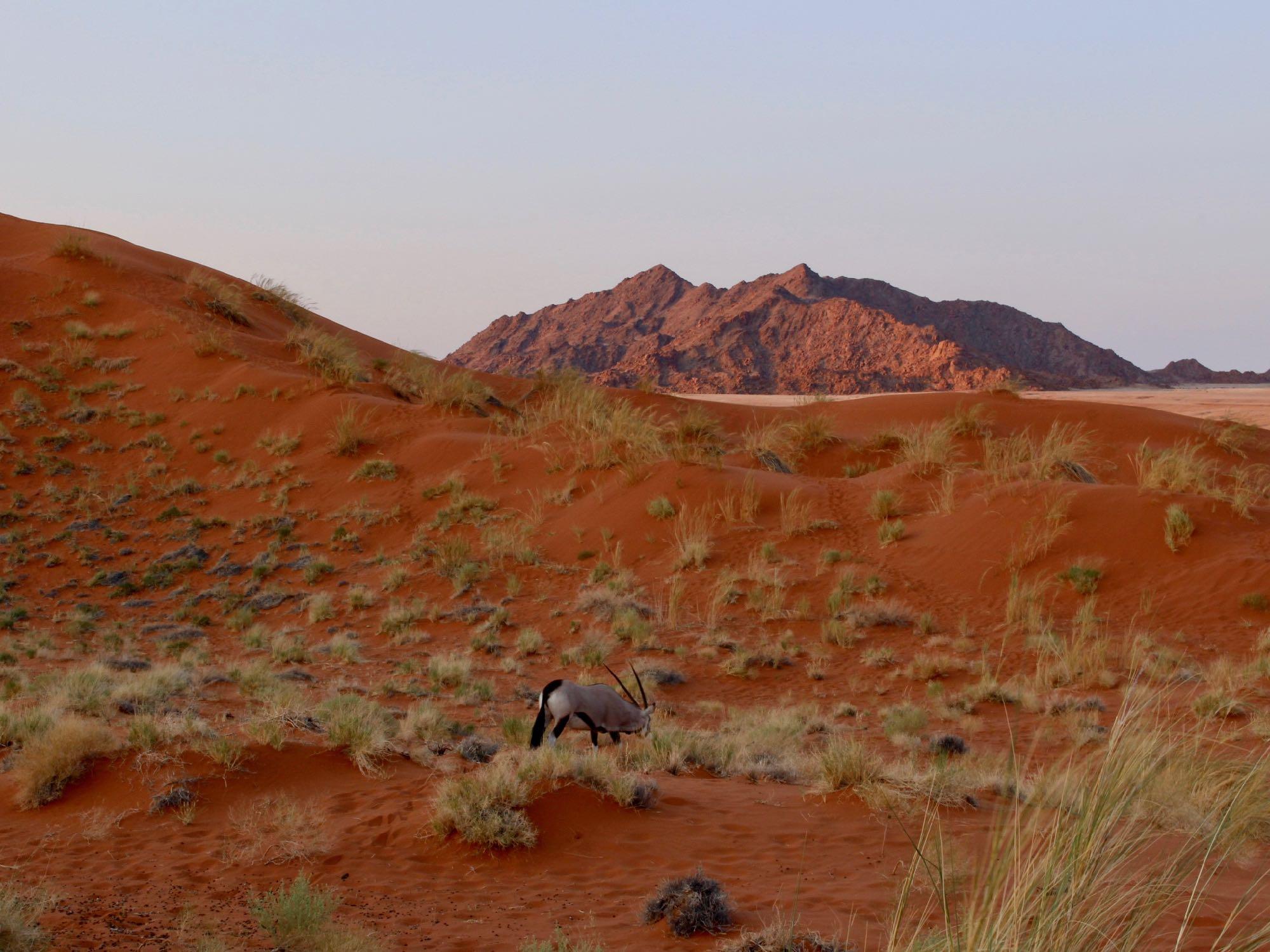 Un Oryx sur la Dune Elim