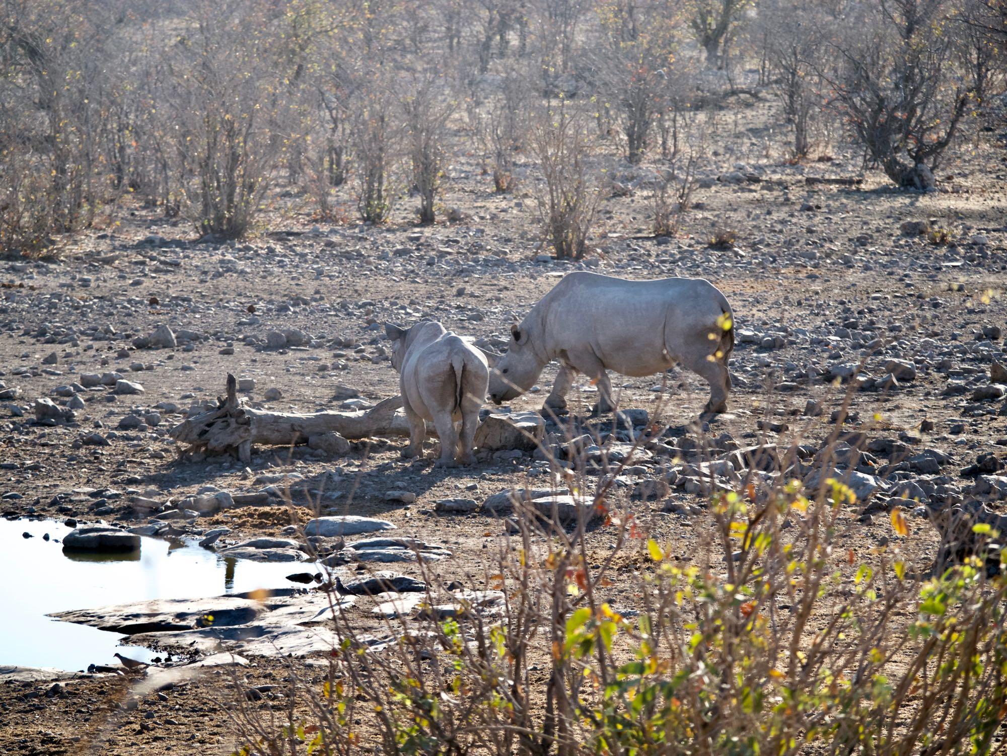 Deux rhinocéros à Halali