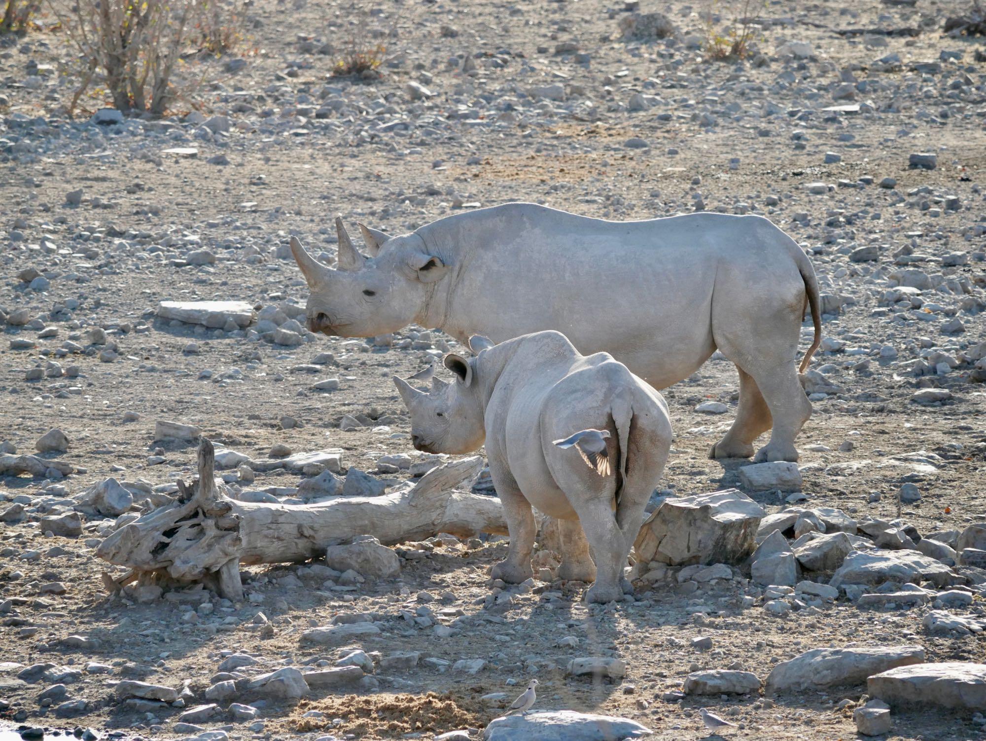 Une mère rhinocéros et son fils à Etosha