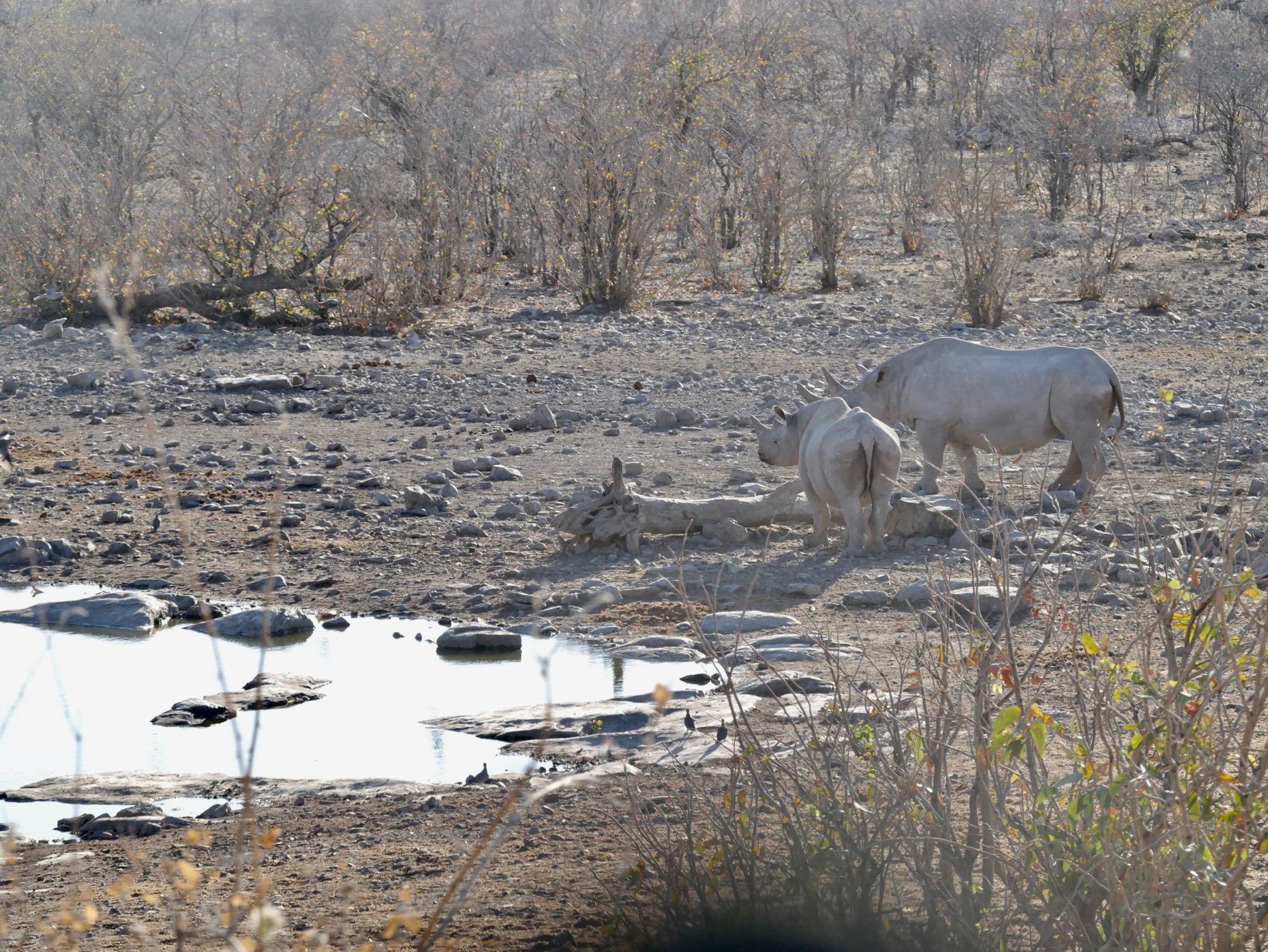 Des rhinocéros à Halali, Etosha