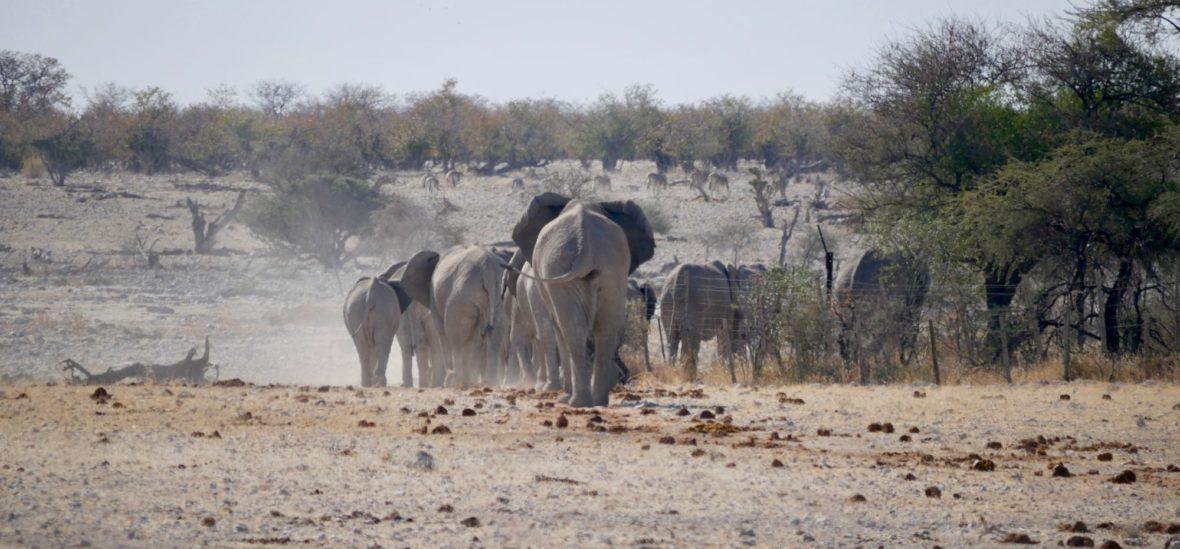 Un troupe d'éléphants à Etosha