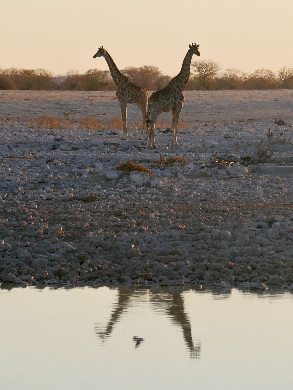Deux girafes et leur reflet dans le trou d'eau d'Okaukuejo Etosha
