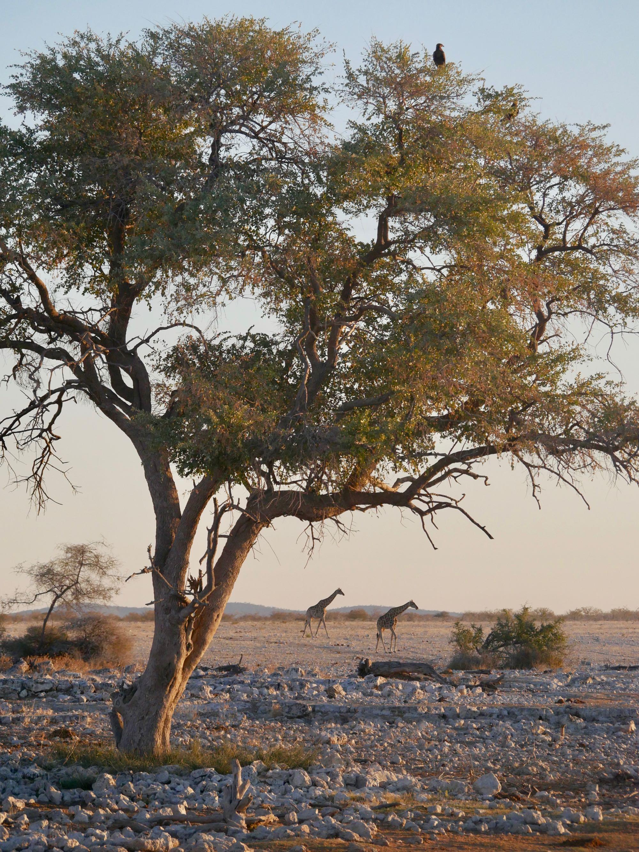Deux girafes et un arbre à Okaukuejo Etosha