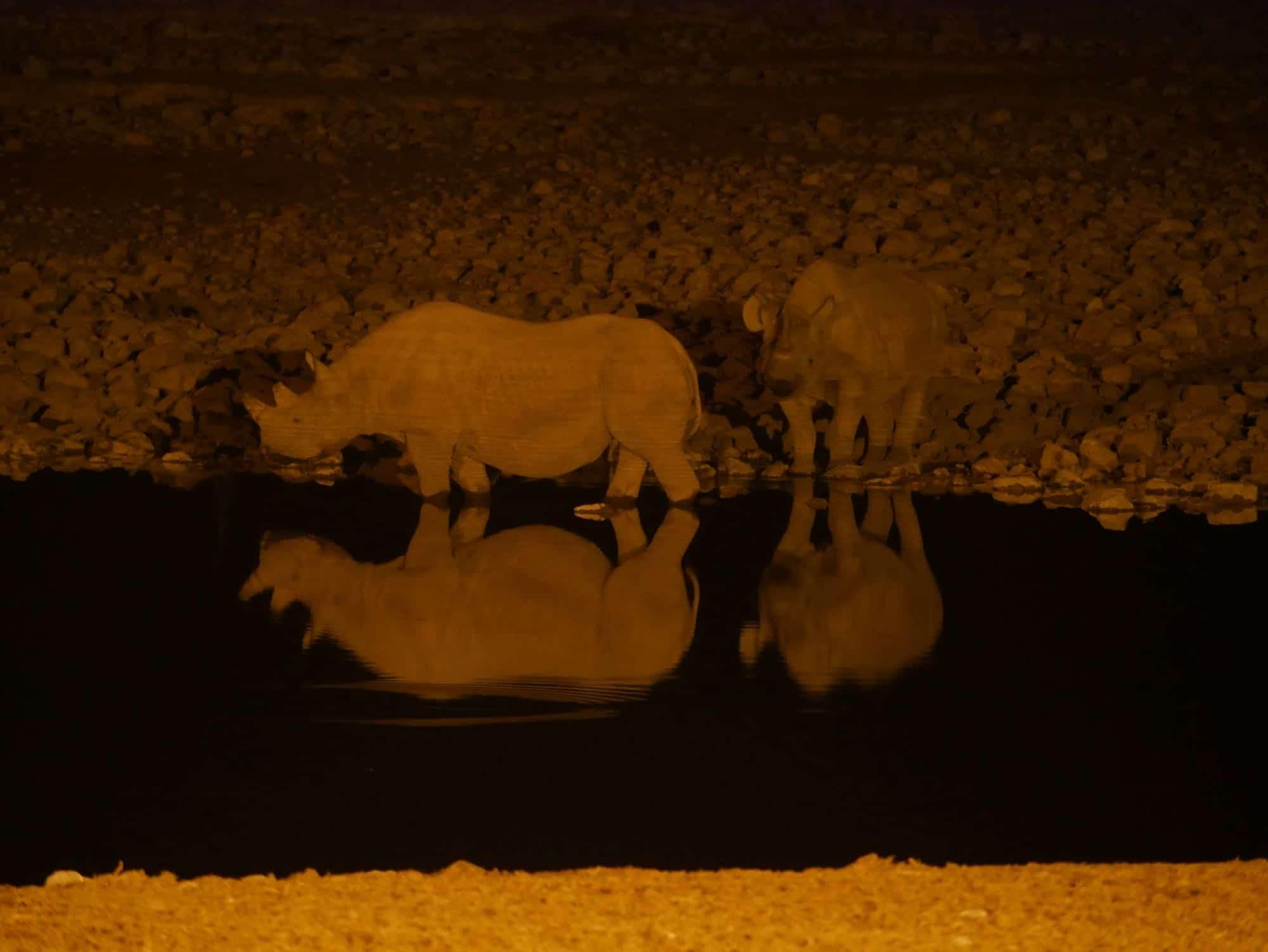 Deux rhinoceros de nuit au trou d'eau d'Okaukuejo