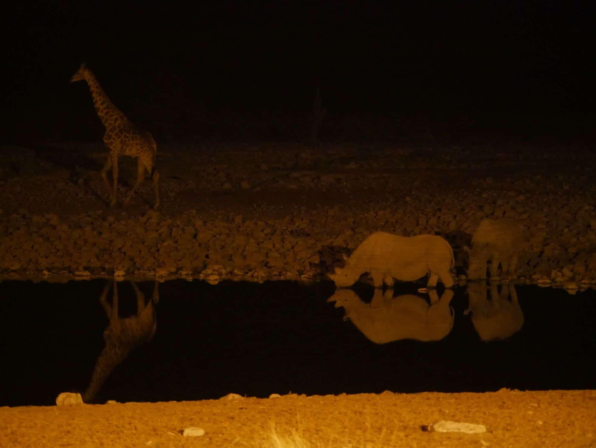Rhinoceros et girafe de nuit à Okaukuejo Etosha