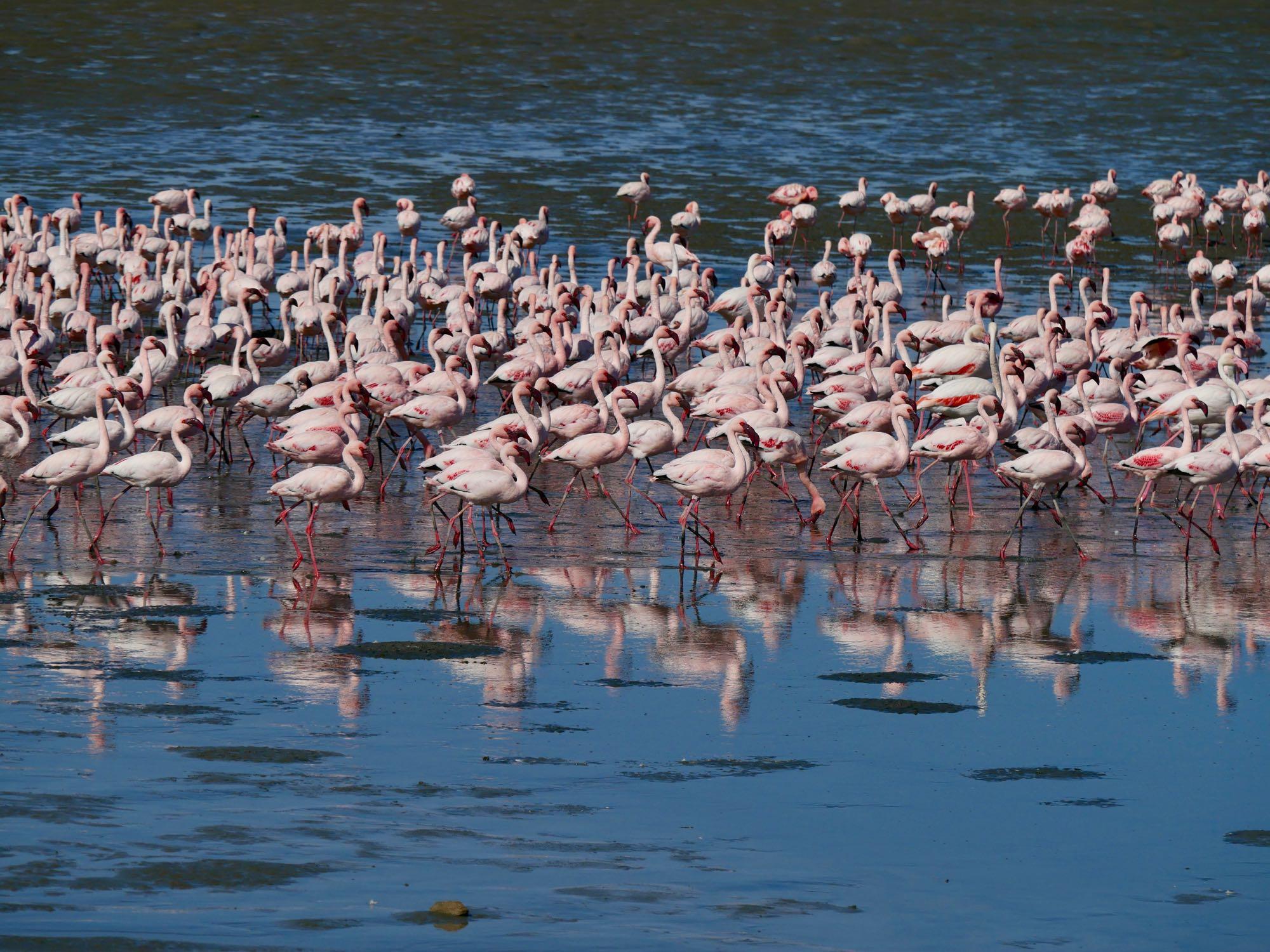 Les flamants rose de Walvis Bay