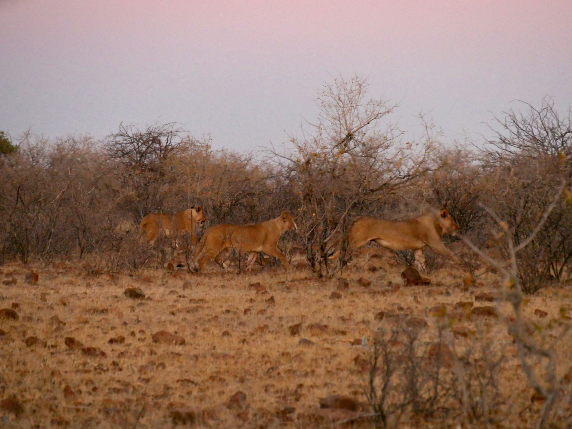 Trois lionnes aux alentours du Grootberg Lodge