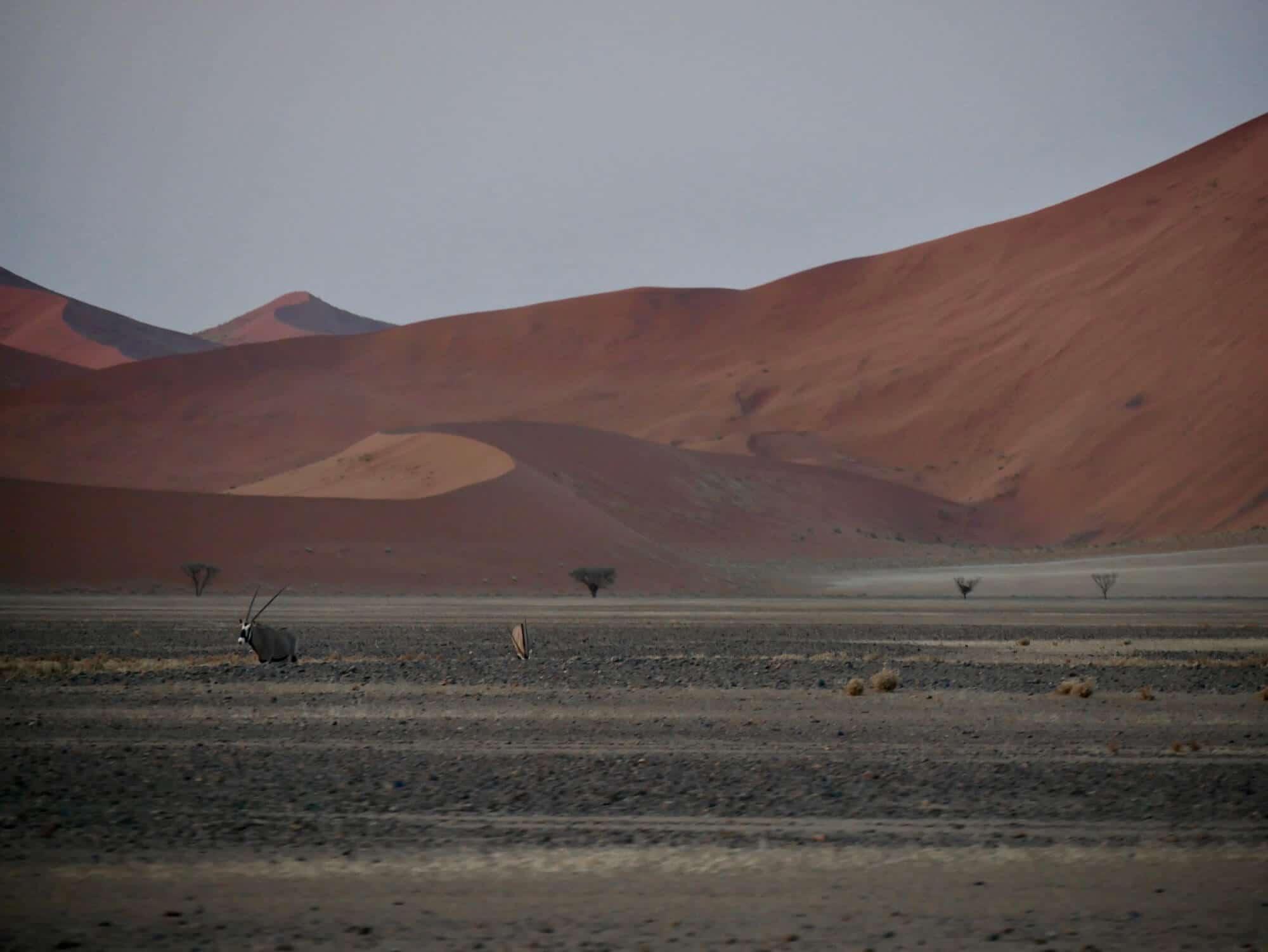 Deux oryx dans le désert du Namib