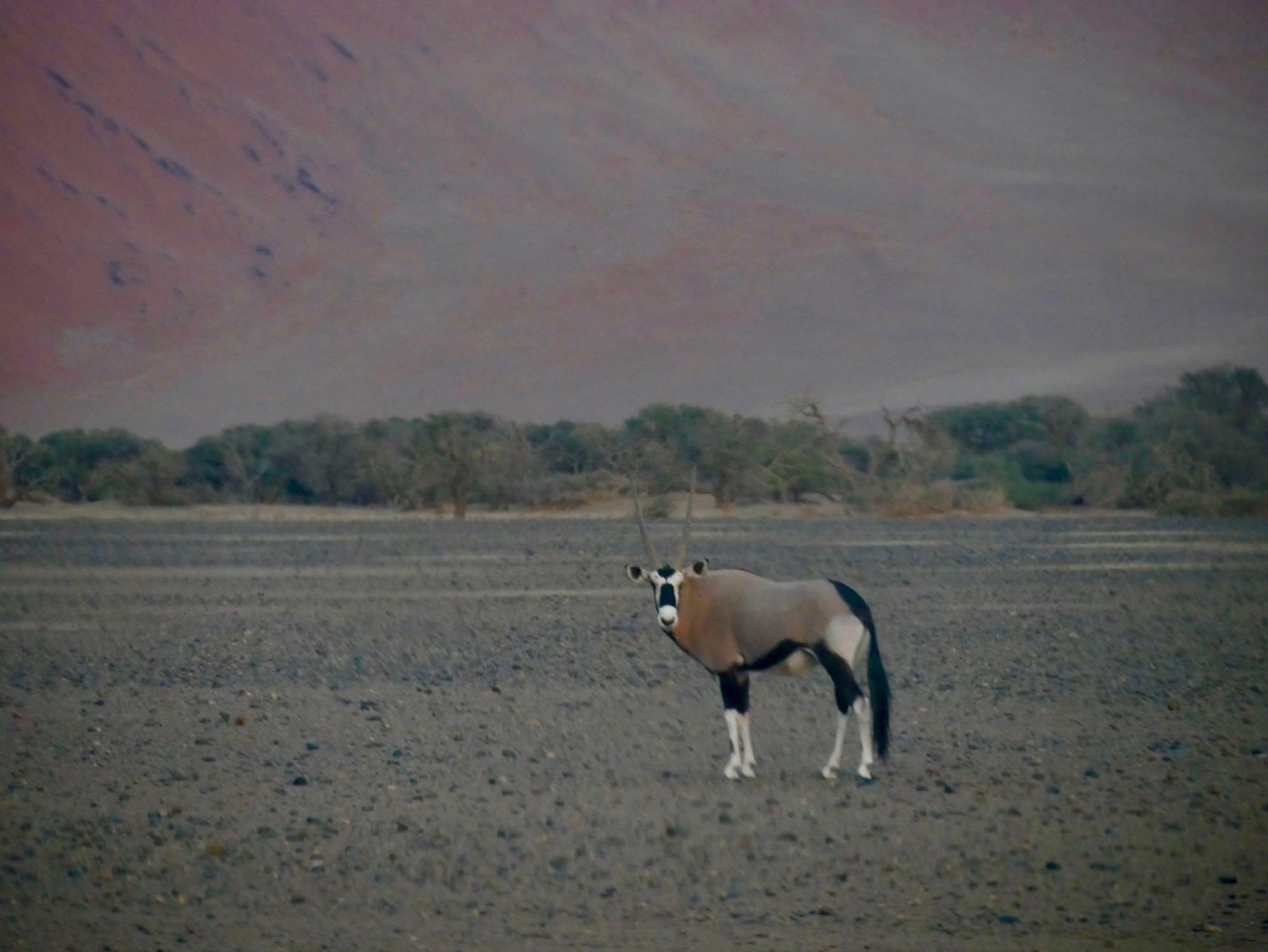 Un Oryx à l'aube dans le désert du Namib