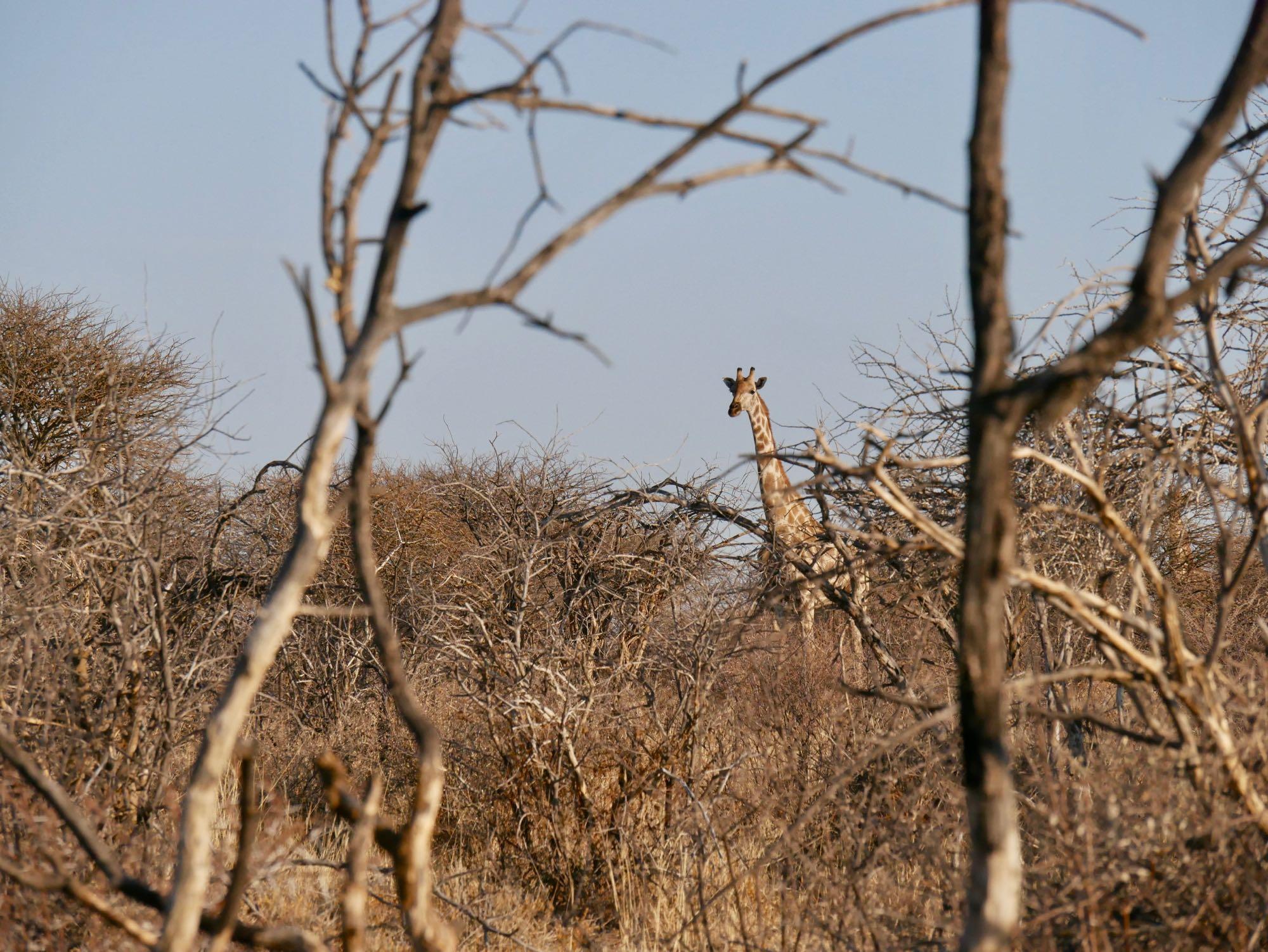 Une girafe à Omatozu Camp