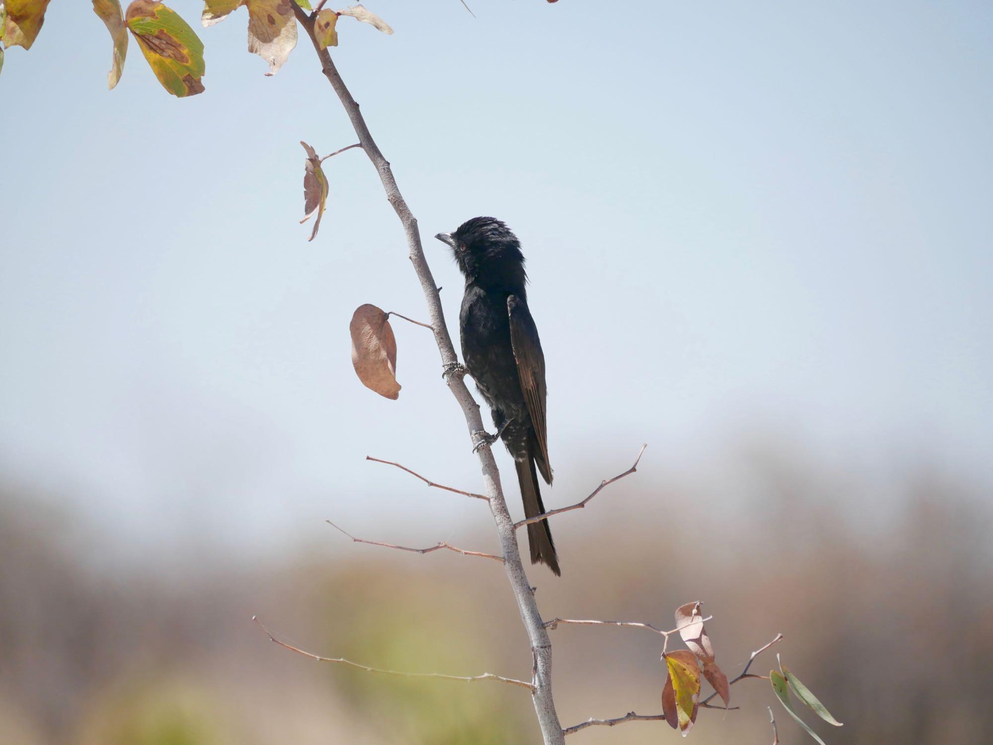 Un oiseau à Etosha