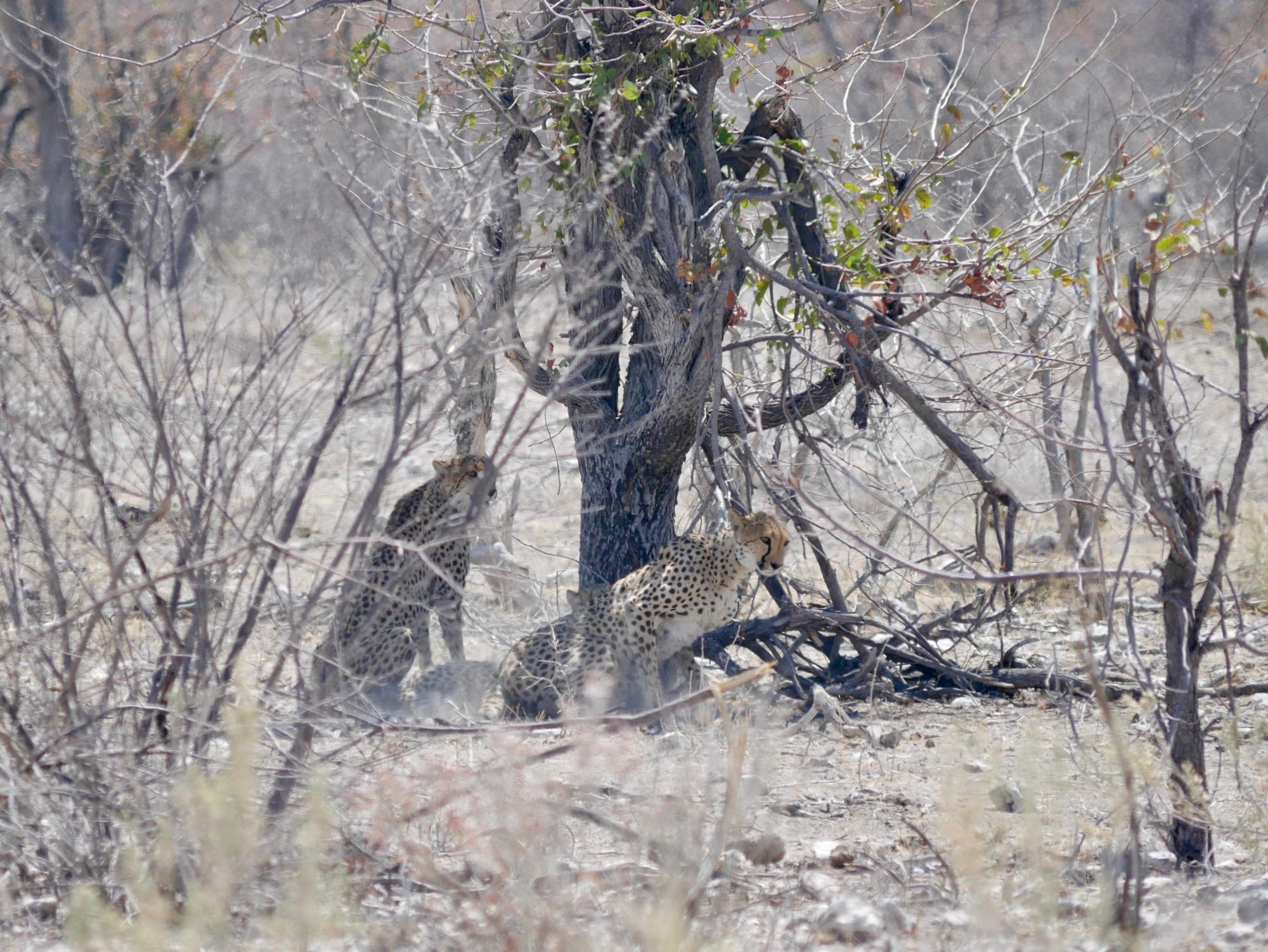 Trois guépards à Etosha