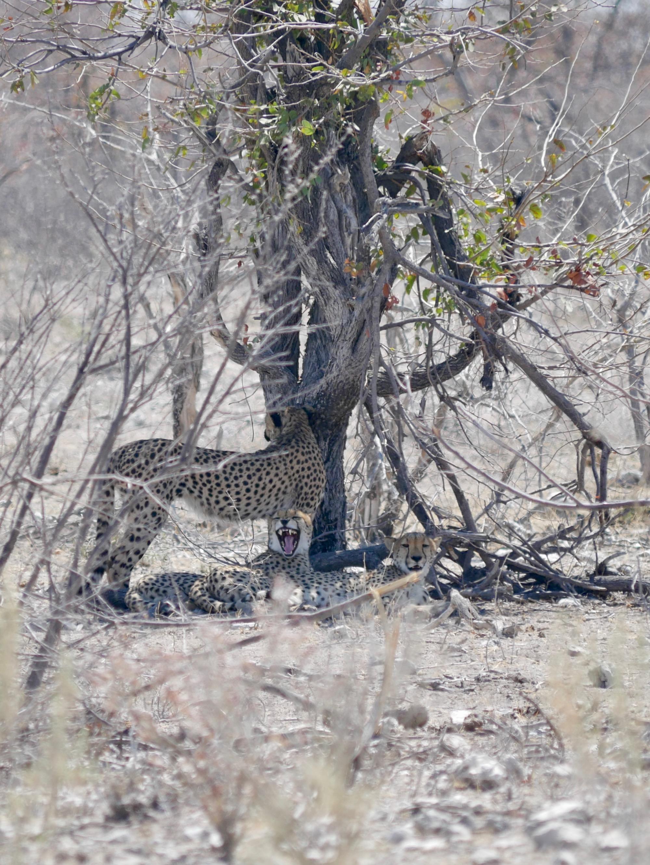 Le bâillement d'un guépard à Etosha
