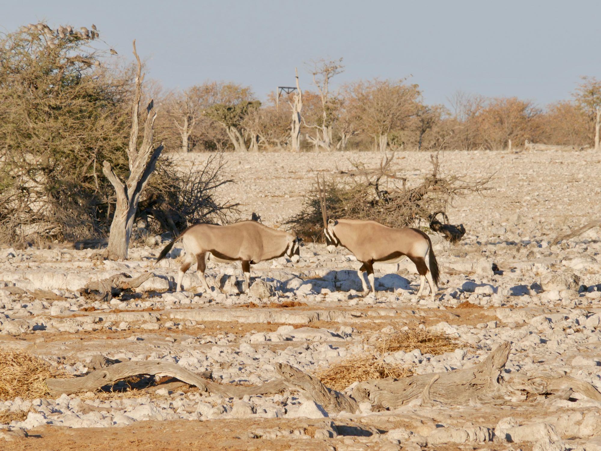 La danse nuptiale des Oryx à Okaukuejo
