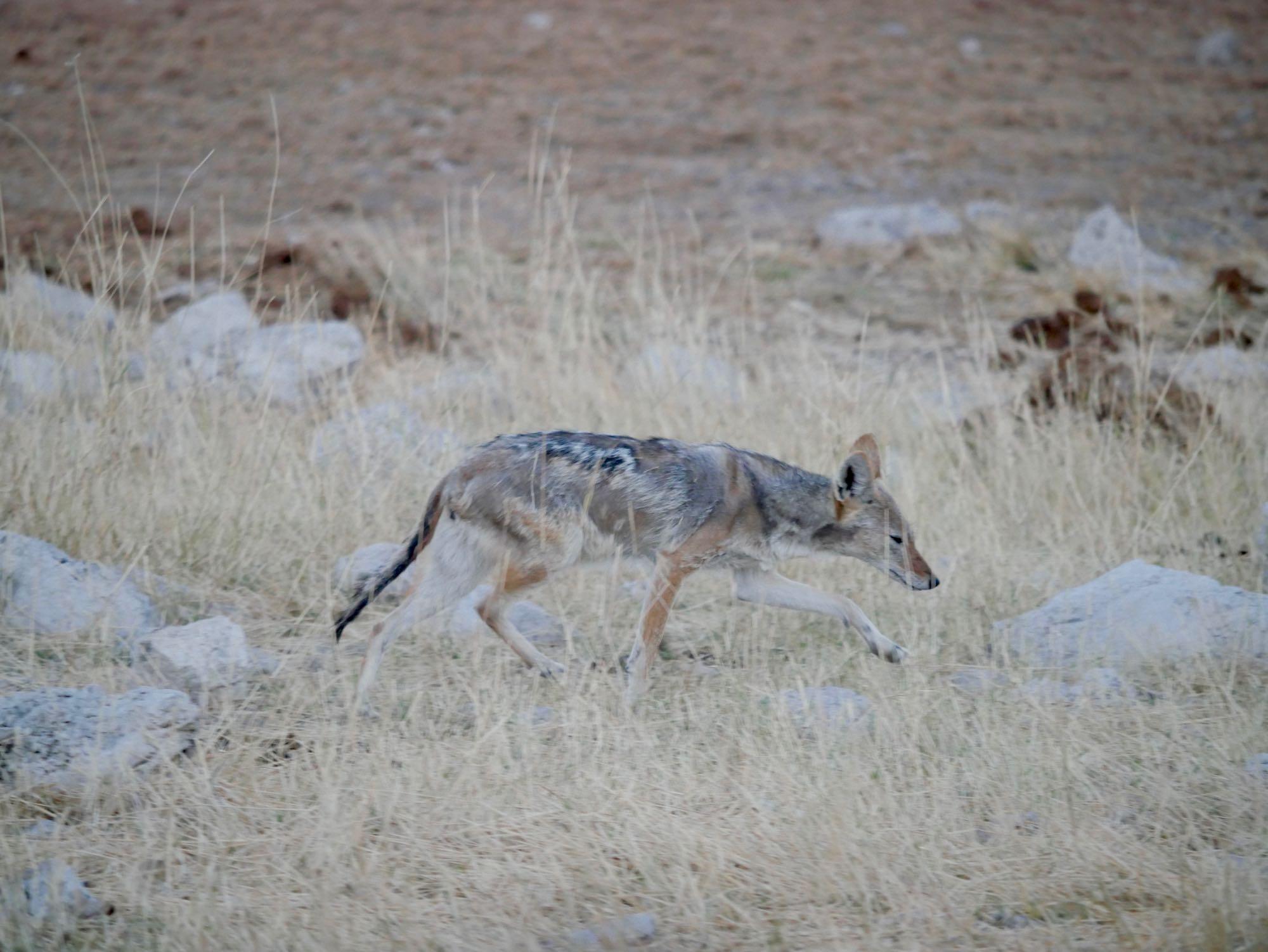 Un renard à Okaukuejo