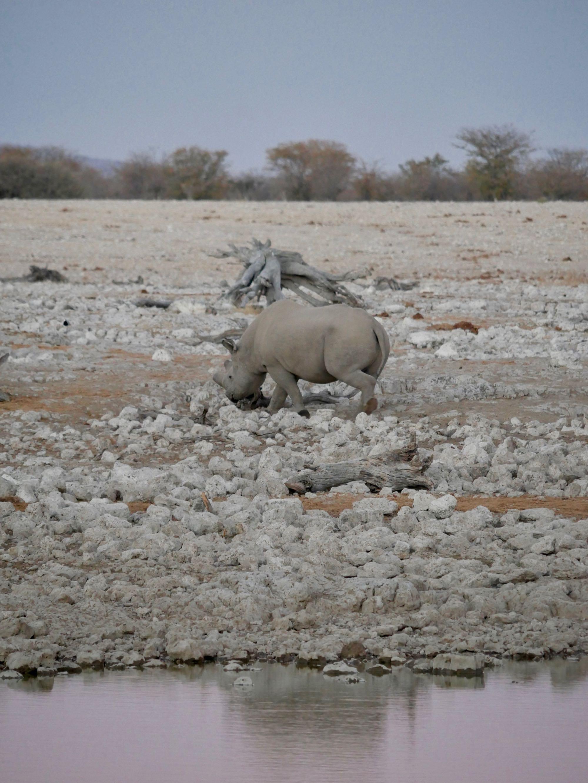 Un rhinoceros matinal à Okaukuejo