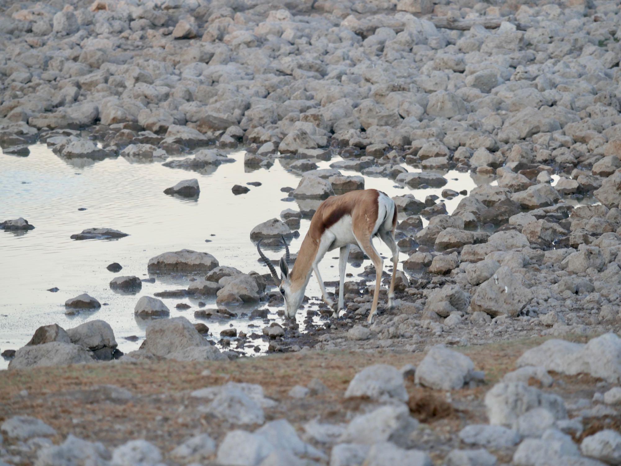 Un springbok s'abreuvant au trou d'eau d'Okaukuejo