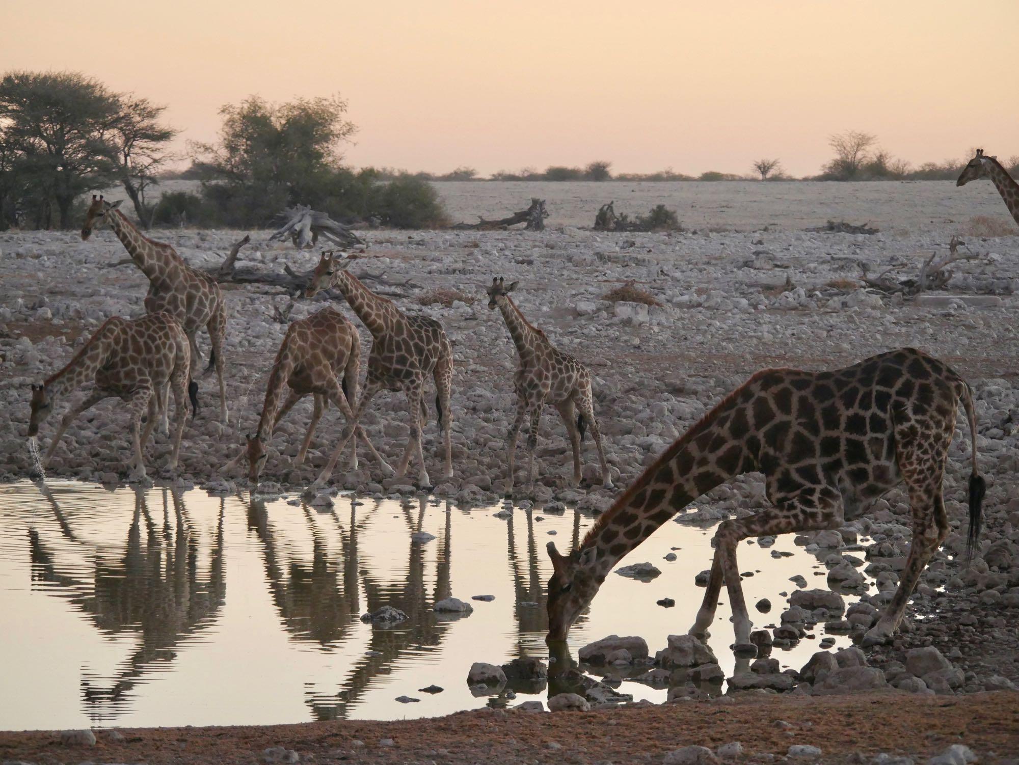 Les girafes au trou d'eau d'Okaukuejo
