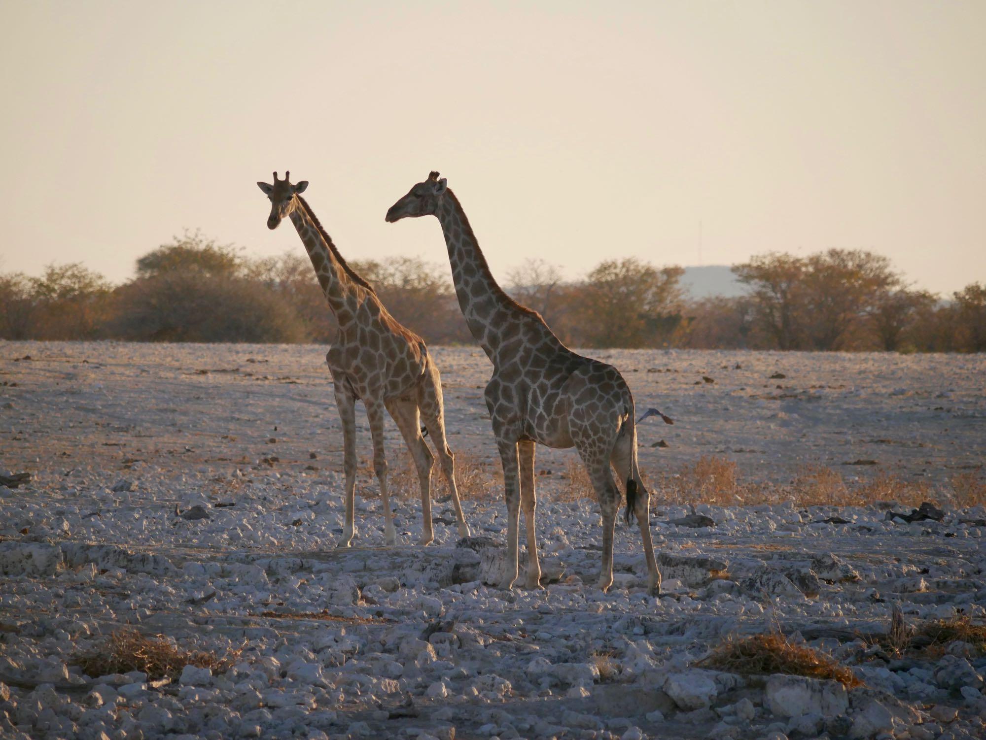 Deux girafes au coucher du soleil à Etosha