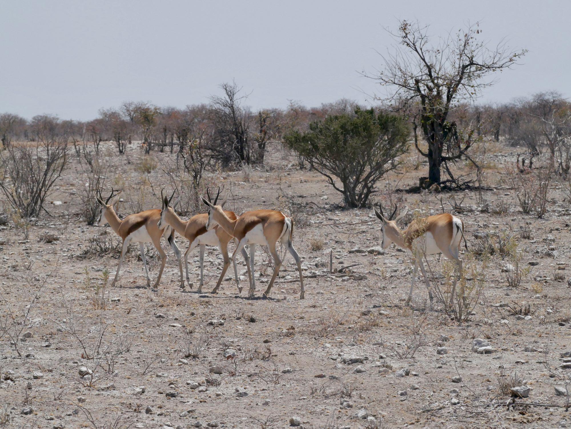 Des springboks passent devant trois guépards