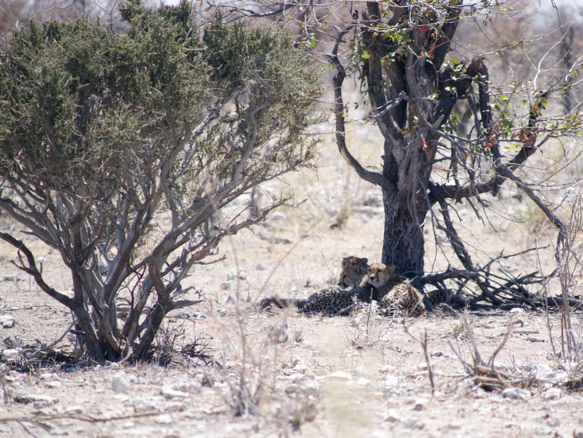 Trois guépards aux aguets