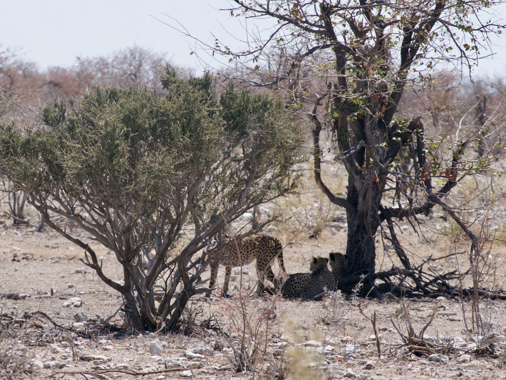 Des guépards à l'affût