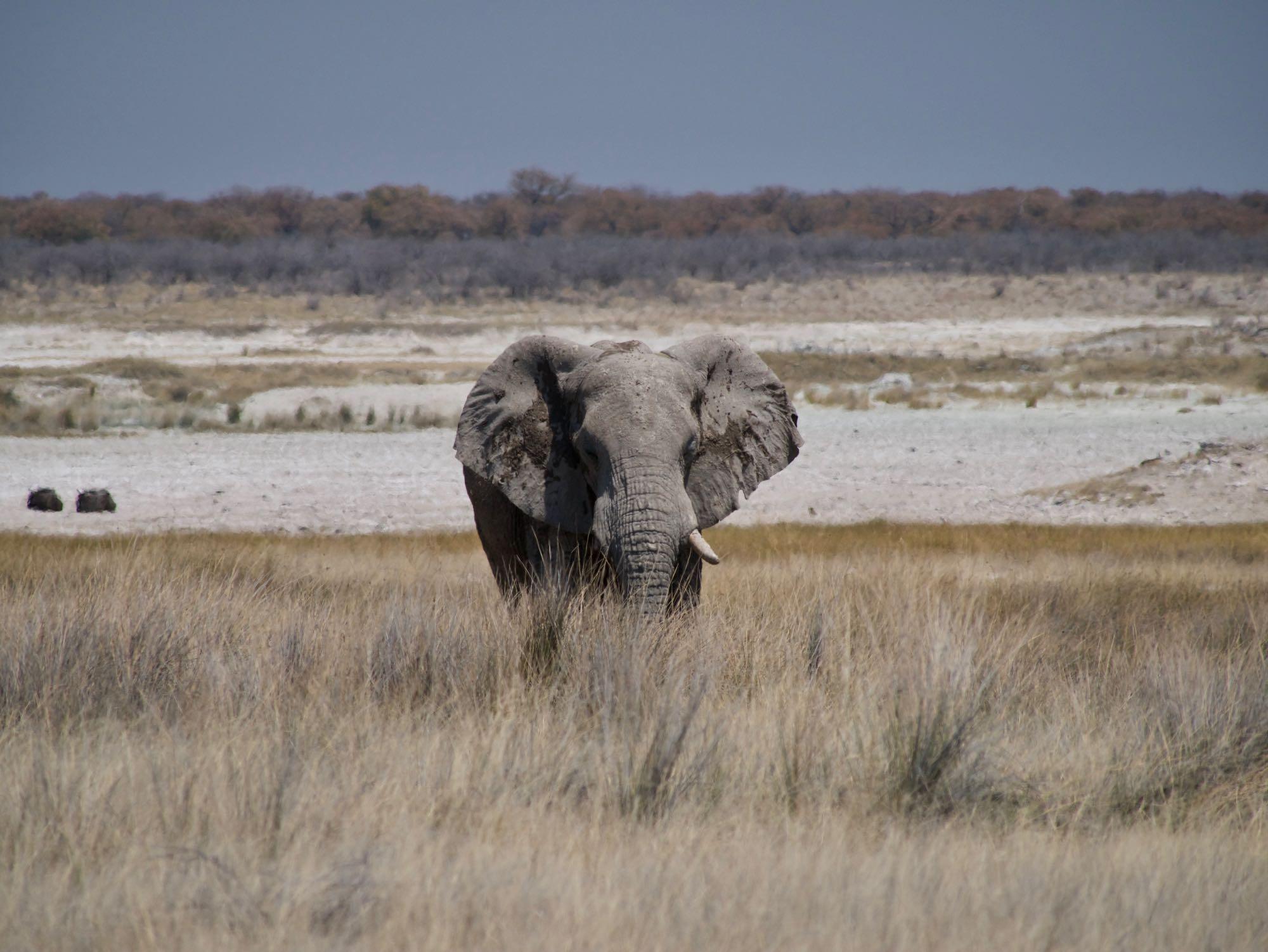 Un éléphant à Etosha