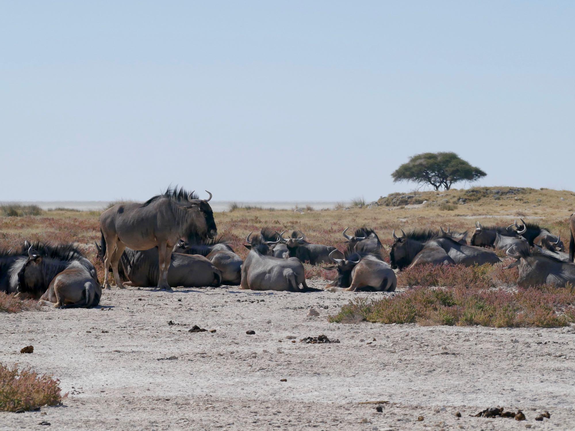Des gnous à Etosha