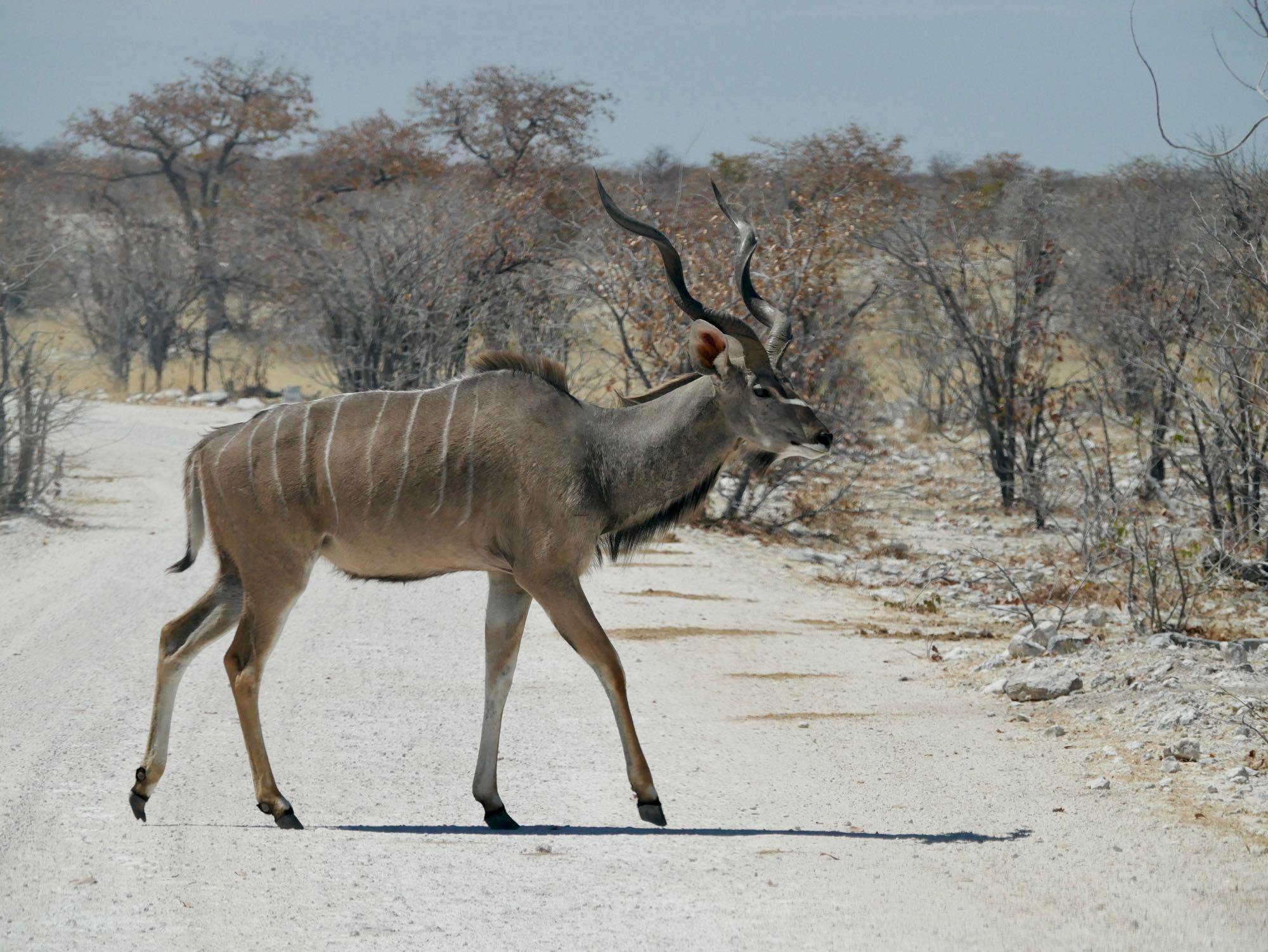 Les belles cornes du Grand Koudou mâle