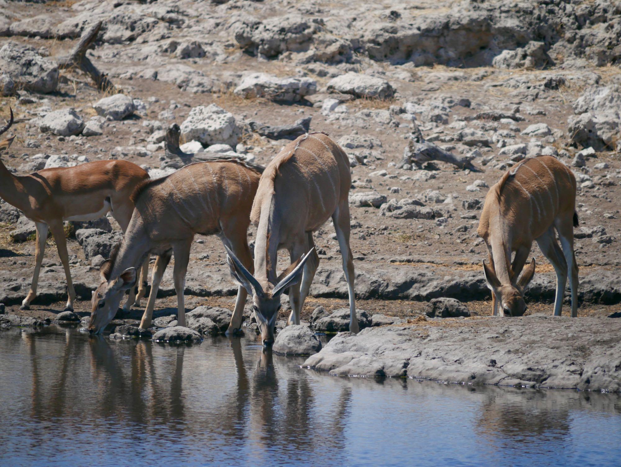 Grands Koudous qui s'abreuvent à Etosha