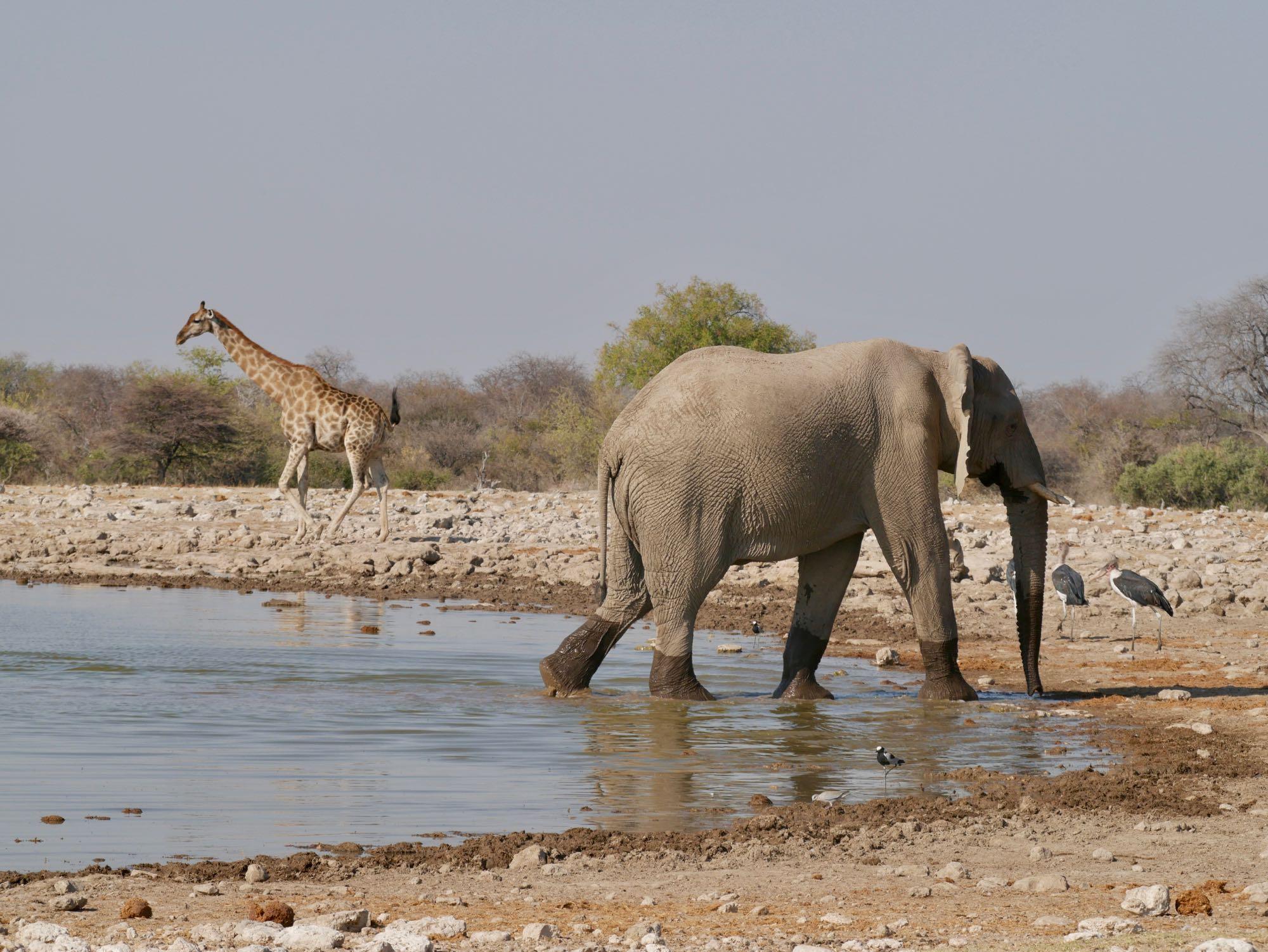 Eléphant et girafe à Etosha Klein Namutoni