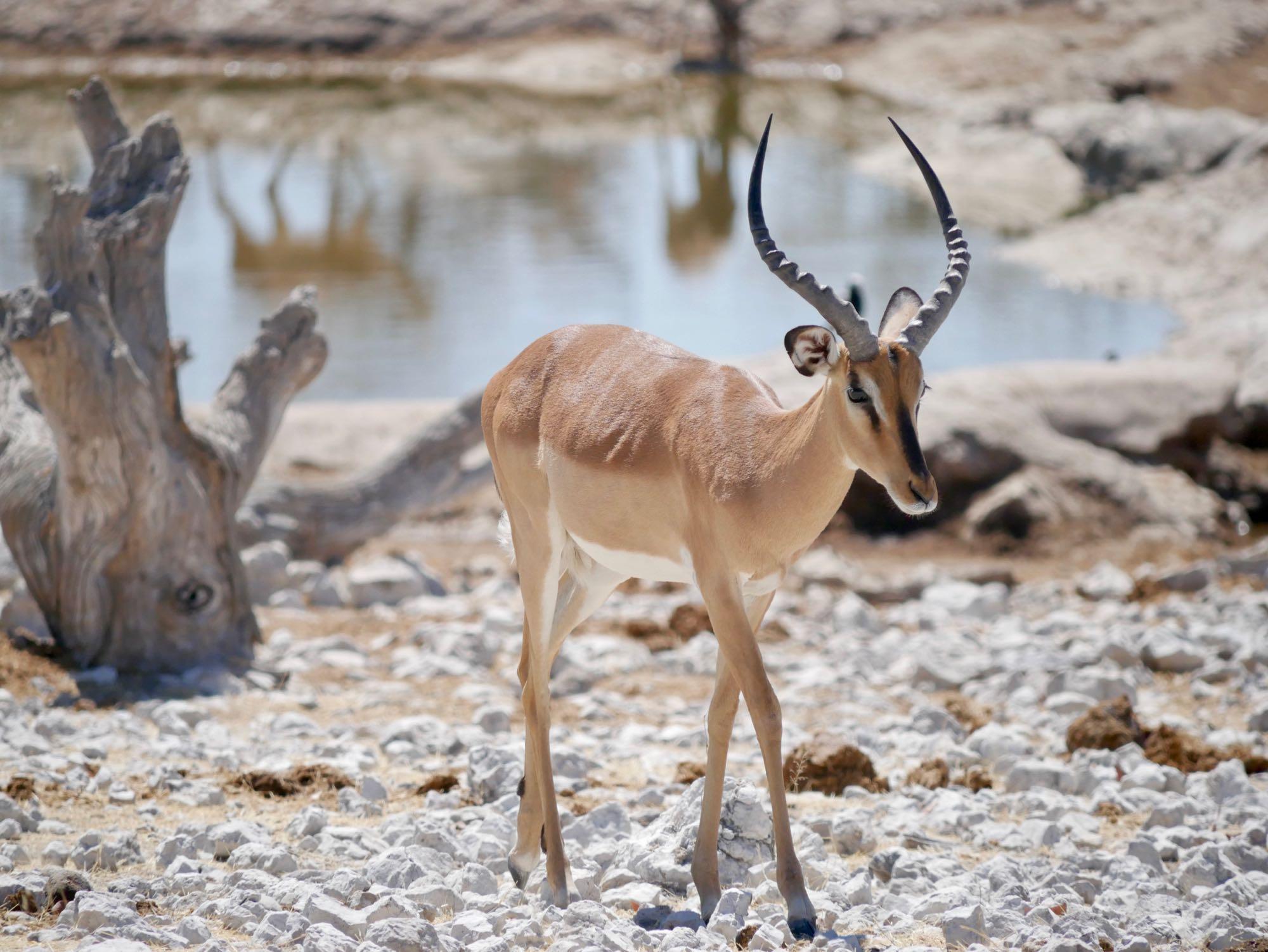 Un springbok à Etosha