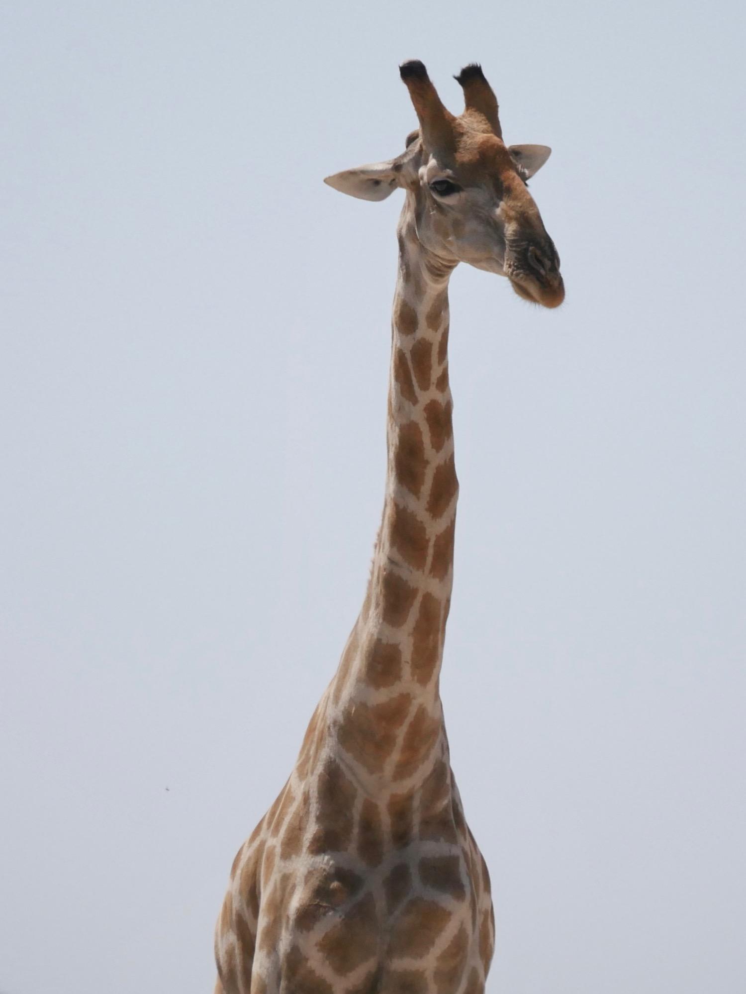 Une girafe à Etosha