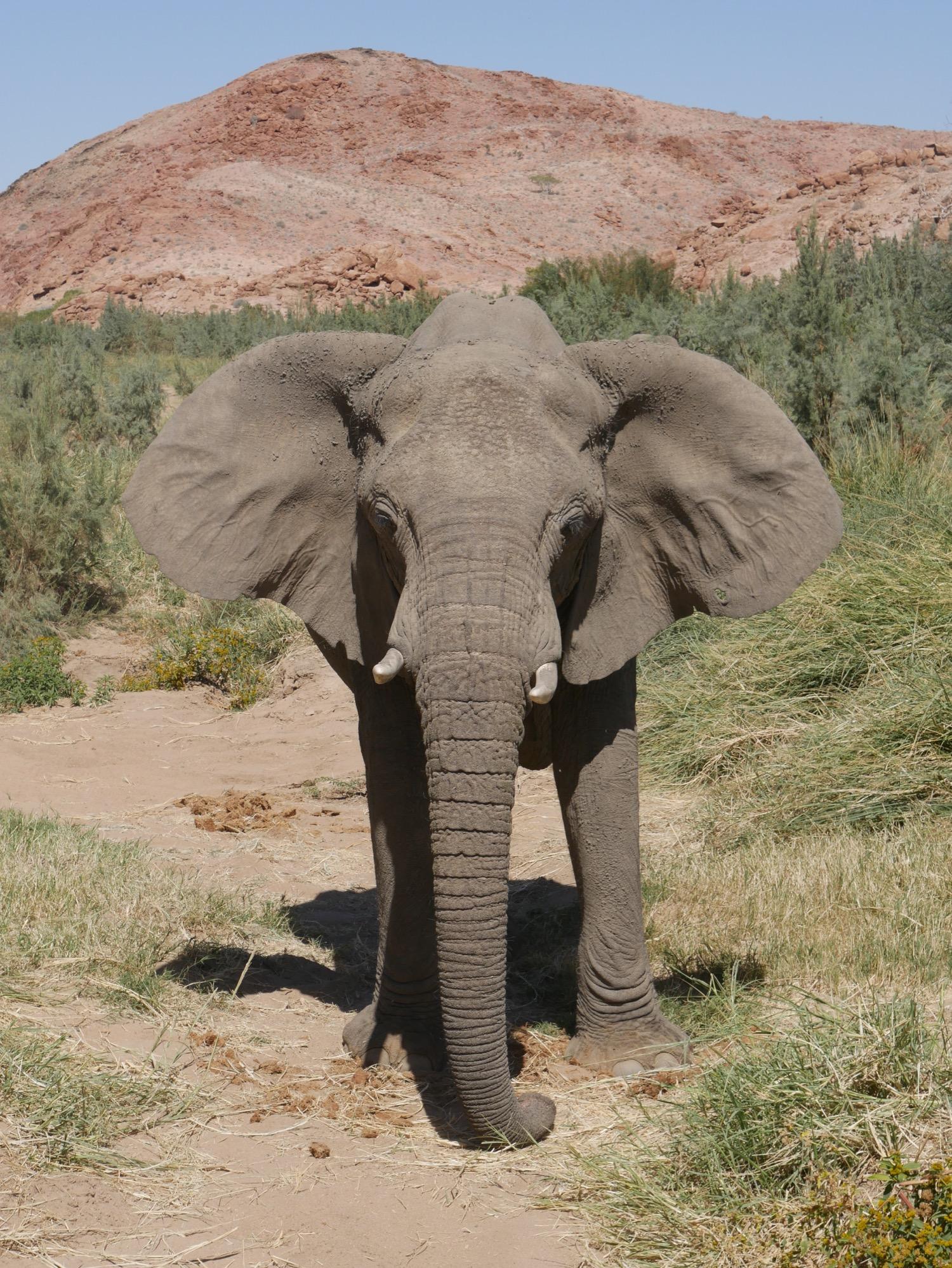 Eléphant de face au Brandberg