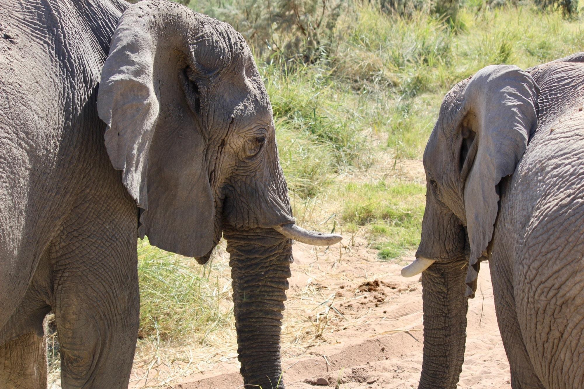 Deux éléphants se regardent