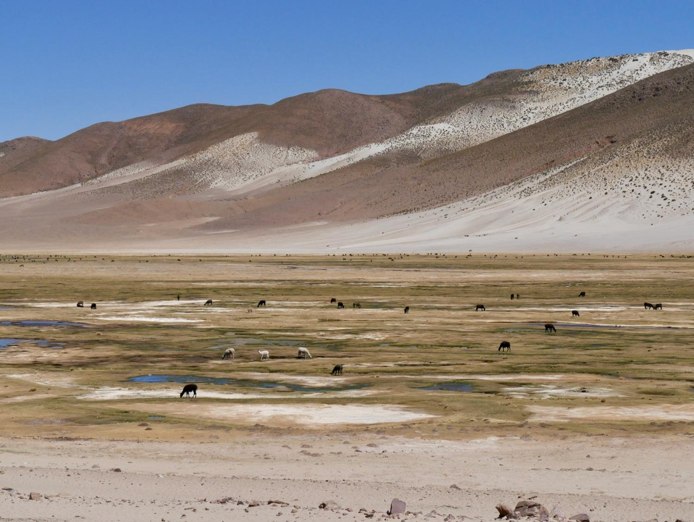 Bodefal peuplé de lama entre Potosi et Uyuni