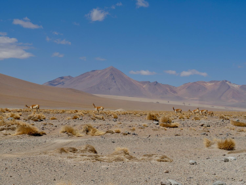 Vigognes devant le désert de Dali dans le Sud Lipez Bolivien