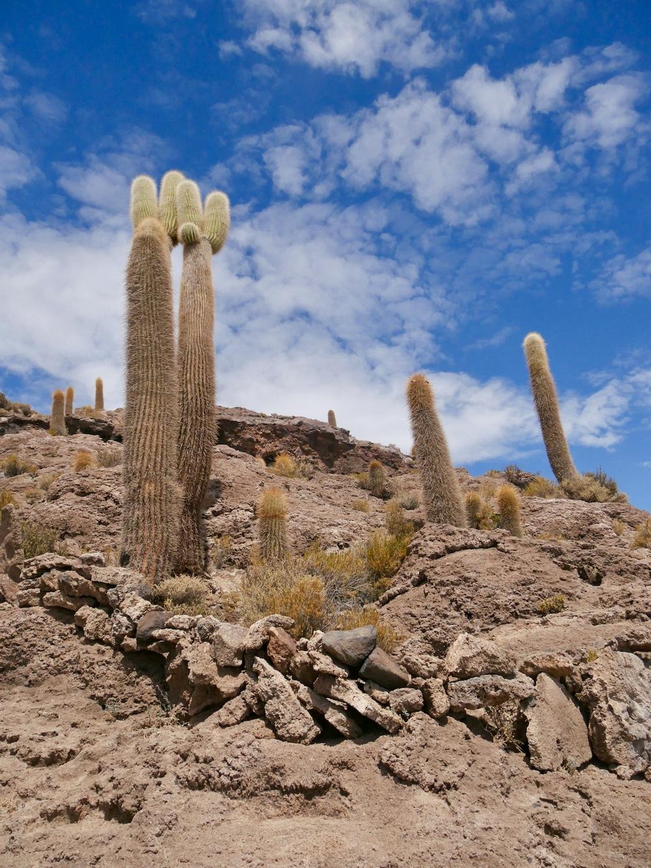 Cactus sur la Isla Incahuasi