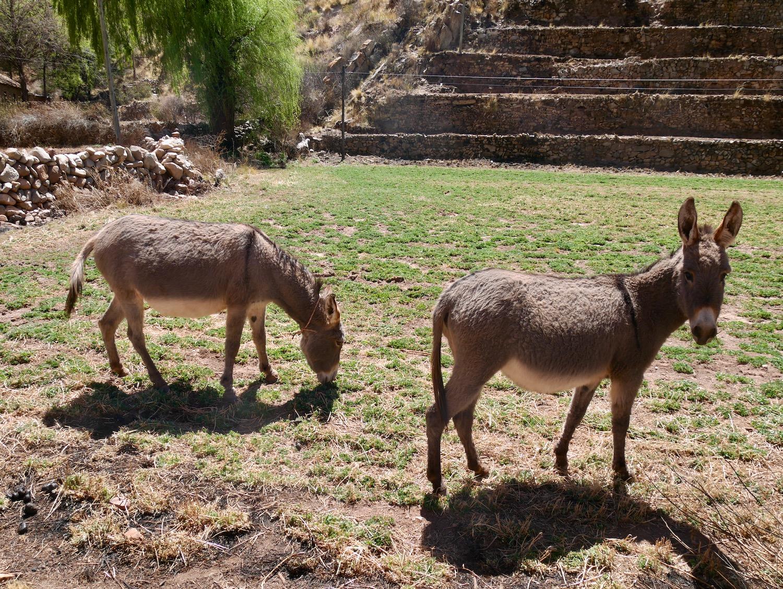 Deux anes à Cayara