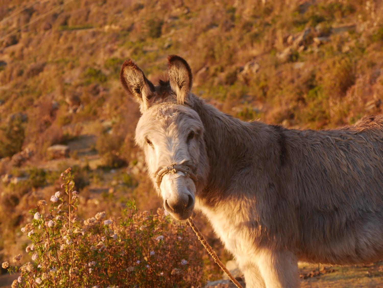 L'âne, mon compagnon de lever de soleil sur la Isla del Sol