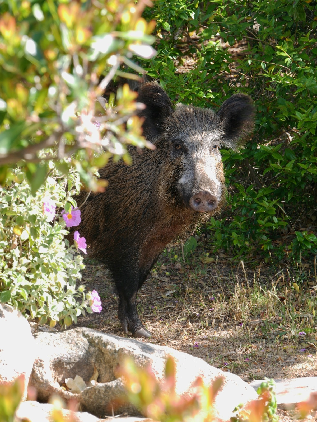 Notre visiteur le sanglier à la casa Smeralda en Sardaigne